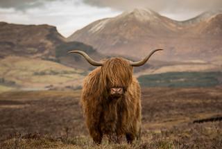 Isle of Skye coo