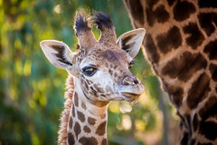 "Momma's ""Little"" Boy (helenehoffman) Tags: kenya conservationstatusvulnerable calf giraffacamelopardalistippelskirchi sandiegozoo tanzania kilimanjarogiraffe masaigiraffe giraffe animal mammal"