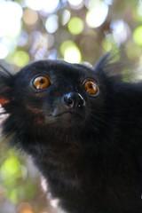 Nosy Komba male Black Lemur