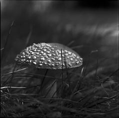 Amanita muscaria/Superpan 200 (Jonas.Nilsson) Tags: rollei superpan200 kiev88cm carlzeissjena biometar mediumformat mf monochrome mediumformatfilm 120film 6x6 rodinal squareformat