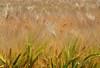 150630 cj0 180226 © Théthi ( 4 shots ) (thethi (pls, read my 1st comment, tks a lot)) Tags: paysage rural champs plante blé céréale épi jaune culture été chaud juin ocquier wallonie belgique belgium setvosfavorites faves72