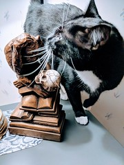 This is a great shot for showing Dean's size. The bookend he is walking past here, rubbing his side on is one foot tall. LOL (CopperScaleDragon) Tags: dean cat tuxedo feline pixel2