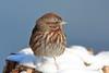 Song Sparrow (brian.bemmels) Tags: melospiza melodia melospizamelodia nature outdoors wildlife bird reifelbirdsanctuary delta bc britishcolumbia canada