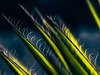 (el zopilote) Tags: albuquerque newmexico landscape gardens plants yucca canon eos7d canonef85mmf18