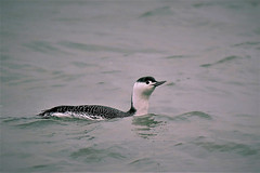 Red Throated Diver (Gavia stellata) This Image was taken at Dungeness NNR at the fishing boats at dusk (GrahamParryWildlife) Tags: 7d sport 150600 sigma yellow grahamparrywildlife small uk kent rspb dungeness animal outdoor viewing photo flickr add new sunlight depth field plumage bird close up song mk2 canon pale loon diver gavia arctica artic graham parry water sea waterfowl red stellata throated