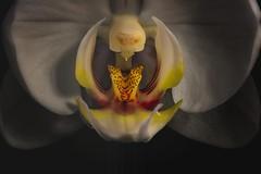 Indécence - Indecency (olivier_kassel) Tags: macro fleur flower orchidée orchid