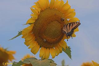 DSC_7259 ~ Sunflower with Eastern Swallowtail
