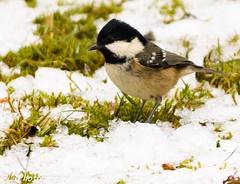 Coal Tit in the snow (endangeredspecys) Tags: garden birds