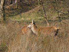 Red deer (Deanne Wildsmith) Tags: der reddeer chasewater staffordshire animal mammal