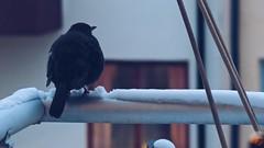 A lonely, very cold young blackbird on my balcony last night... (Elisabeth Redlig) Tags: blackbird outdoors urban city cold birds snow sweden stockholm elisabethredlig