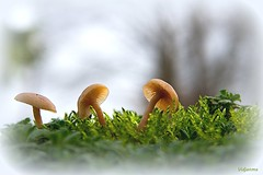 10012018-DSC_0684 (vidjanma) Tags: champignons mousse hiver bokeh