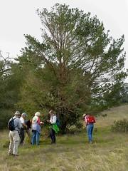 *Pinus sylvestris, SCOTCH PINE. (openspacer) Tags: jasperridgebiologicalpreserve jrbp naturalized nonnative people pinaceae pine pinus