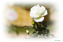 IMG_4167_White Rose (Ajax_pt/Zecaetano) Tags: rosas