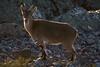 Curiosidad (ramosblancor) Tags: naturaleza nature animales wildlife mamíferos mammals cabramontés spanishibex spanishwildgoat caprapyrenaica hembra female young joven contraluz backlight peñadefrancia salamanca españa spain