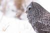 Last Leg (jrlarson67) Tags: great gray grey owl saxzim mn vole eating hunting raptor