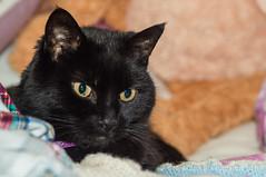It's My Bed Now... (Neil Clark) Tags: cat domesticshorthair louis manualfocus pet sonynex6 vivitar70150f38 feline legacylens