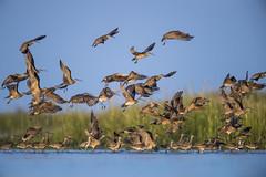 Panic (Khurram Khan...) Tags: whimbrel wildlife wildlifephotography wild wwwkhurramkhanphotocom summer migration birds birding birdphotography naturephotography tide beach iamnikon