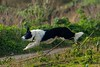 JAN_1810_00011 (Roy Curtis, Cornwall) Tags: uk cornwall perranuthnoe dog leaping fence