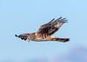 Northern Harrier (Ed Sivon) Tags: america canon nature lasvegas wildlife wild western southwest desert clarkcounty clark vegas birdofprey henderson nevada nevadadesert preserve