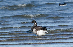 Atlantic Brant (johnny4eyes1) Tags: waterfowl atlanticbrant geese frigid wildlife winter brant nature bird birds icy environment goose gatewaynationalwildlifepreserve cold ice