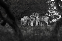 Intimacy (thethoughtbadger) Tags: fallowdeer doeshuddling branchframing monochromephotography