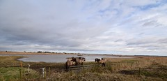 Blacktoft Sands RSPB (carolinewright32) Tags: rspb river ouse ponies konik