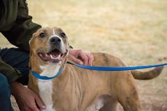 Fletcher (Save-A-Pet Adoption Center) Tags: 2018 saveapet dog male fletcher
