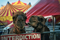 (michel nguie) Tags: michelnguie film roubaix street rbx chameau camel circus cirque pets interdiction dromadaire