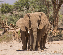 Majestic! (Wayne Marsh) Tags: africanelephants elephant elephants namibia desertelephants namibdesert