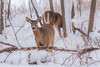 getting by (jimmy_racoon) Tags: canon 400mm f56l 5d mk2 fort snelling state park wildlife deer minnesota nature prime snow winter woods canon400mmf56l canon5dmk2 fortsnellingstatepark
