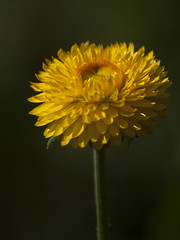 A regarder ** (Titole) Tags: everlastingflower yellow titole nicolefaton flower friendlychallenges thechallengefactory