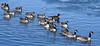 Cackling Goose Conga Line - Weld County CO - January 2018 (SteveMlodinow) Tags: red richardsonscacklinggoose weldcounty colorado