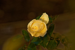 Le tourbillon jaune - The yellow swirl (p.franche Visit(ez) mes expositions) Tags: sony sonyalpha65 objectifminolta minoltalens minolta beercan vintage hdr dxo photolab bruxelles brussel brussels belgium belgique belgïe europe pfranche pascalfranche schaerbeek schaarbeek jaune yellow rose garden jardin blume 花 blomst flor פרח virág bunga bláth blóm bloem kwiat цветок kvetina blomma květina ดอกไม้ hoa زهرة coeur heart winter hiver bokeh