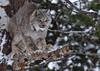 Lynx (ritchey.jj) Tags: lynx