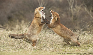 Battle of the Foxes