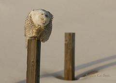 Wake Up (slsjourneys) Tags: owl snowyowl islandbeachstatepark beach