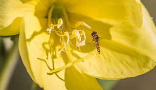 Hoverfly on Evening Primrose