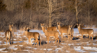 White Tailed Deer Family photo