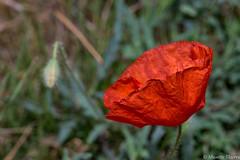 un p'tit bout de printemps (musette thierry) Tags: rouge musette thierry d600 fleur texture printemps flo flower fragile