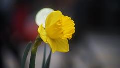 NSM04653 (rickytanghkg) Tags: minolta70210mm minolta sony a7ii sonya7ii flower