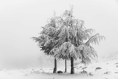 Against winter (Ch.Benabid.Photographies (fb/page)) Tags: trees snow winter nature frozen blackandwhite landscape weather