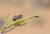 Boxer Bark Mantid (Paraoxypilus) (BenParkhurst) Tags: boxerbarkmantid paraoxypilus outback benparkhurst outdoor insect charlesdarwinreserve animal small 2017 wa mantid whitewellsstation wildlife westernaustralia wild fauna midwestwa australia invertebrate