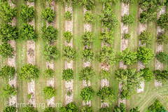 Aerial shot looking directly down at rows of pecan trees, .Tifton, Georgia. (Remsberg Photos) Tags: farm georgia tifton outdoors aerial agriculture drone organized neat pattern order highangle pecan pecantrees usa