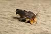 Clearwing or Banyan Tussock Moth, male (Perina nuda, Lymantriinae, Erebidae) (John Horstman (itchydogimages, SINOBUG)) Tags: macro china yunnan itchydogimages sinobug entomology moth lepidoptera trap tussock lymantriinae lymantriidae erebidae insect topf25 topf50 top
