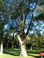 Eucalyptus gomphocephala (sftrajan) Tags: jardimbotânicotropical botanicgarden lisbon botany eucalyptusgomphocephala tree jardimagrícolatropical arbre australianplants australiantrees botanicalgarden jardinbotanique lisboa jardimbotânico ortobotanico belém portugal jardimdoultramar gardens park jardimcolonial jardínbotánico botanischergarten ботаническийсад xardínbotánico лиссабон португалія