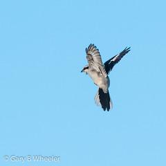 Great Grey Shrike (Ponty Birder) Tags: g b wheeler pontybirder garywheeler shrike gloucester forestofdean birds birdsinflight