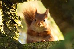 Red squirrel, Grasmere (F A Z) Tags: redsquirrel grasmere