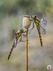 golden girls (gatomotero) Tags: olympusomdem1 mzuiko60 macro nature odonatos yellowdragon dragonfly libélula aliste rabanales zamora
