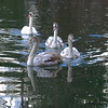 Swans - (rotraud_71) Tags: austria salzburg leopoldskron pond swans water reflections