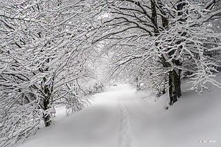 Paseando por un hayedo nevado